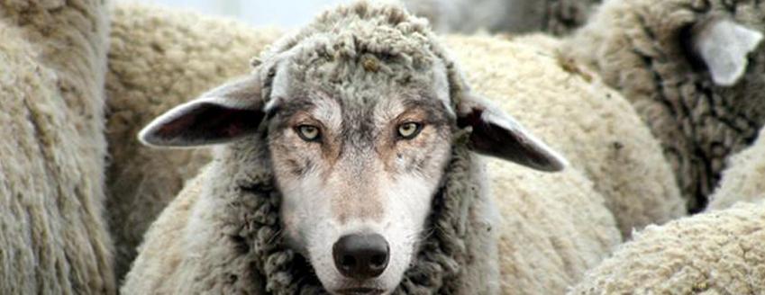summitcl_sheep