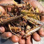 Locusts invasion: dark days for Northern Uganda