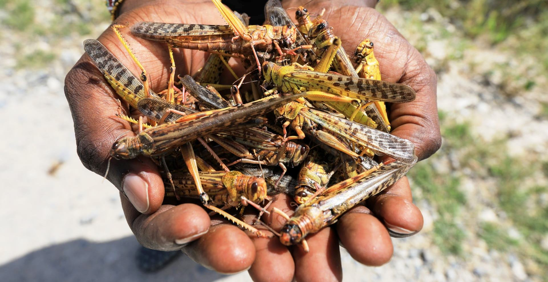 Locusts invasion: dark days for Northern Uganda